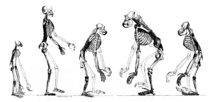 Espécies da superfamília de primatas Hominoidea como o gibão, o humano, o chimpanzé, o gorila, e o orangutango todos partilham de um ancestral comum.